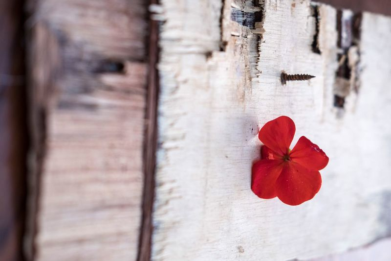 Close-up of red flower on wood