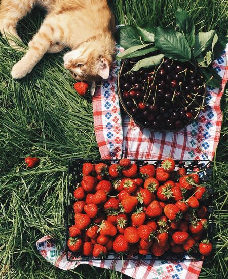 Directly above shot of cat relaxing by strawberries and cherries on grassy field