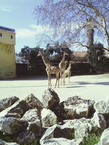 My favorite animals at the Zoo. They are amazing. Giraffe Inthezoo Relaxing Taking Photos Enjoying Life Hanging Out