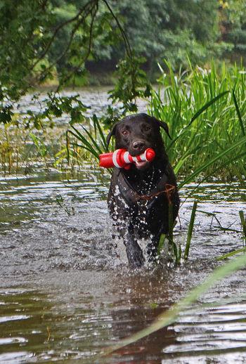 River Fluss Dog Dogphotography Doglover Dog Lover Dogstagram Labrador Labrador Retriever LabradorRetriever Wasser Water Play Spielen Leuchtturm Spielzeug Toy