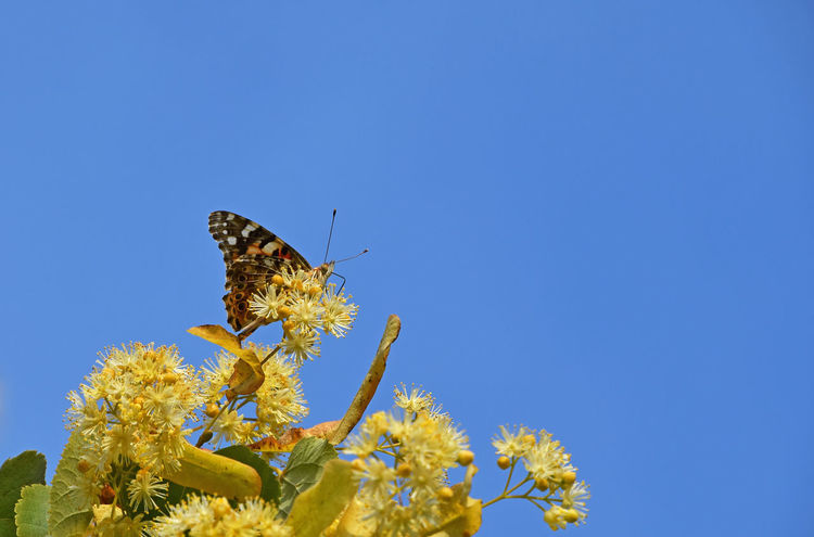 Colorful butterfly pollinating on yellow linden tree blossoms over blue sky Bloom Blooming Blossom Blue Sky Butterfly Close Up Close-up Flowers Honey Insect Insects  Lime Lime Tree Linden Linden Tree Moth Nature Pollination Season  Summer Summertime Wildlife Yellow A Bird's Eye View