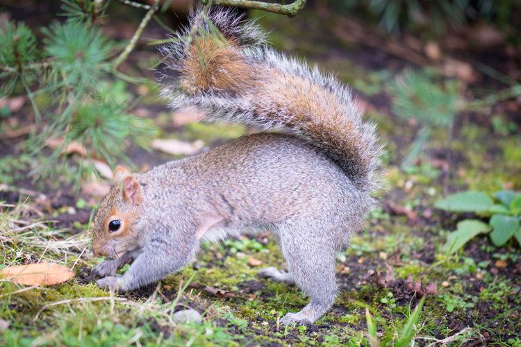 Squirrel burying a nut Squirrel And A Nut Squirrel Burrowing Squirrel In London