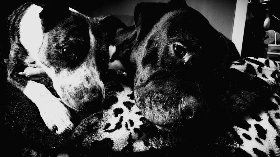 Hanging Out Check This Out Relaxing Dogphotography Dog Love Pitbull♥
