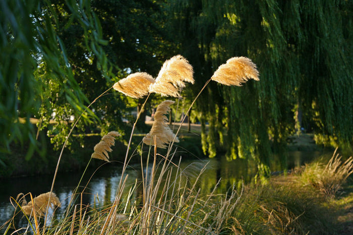 Christchurch Christchurch New Zealand Dramatic Sky Pampas Grass At Sunset River Avon Riverside Beauty In Nature Freshness Grass Grasses Growth Hagley Park Nature Outdoors Pampas Grass Pampas Grass In The Breeze Plant Riverside Photography Summer