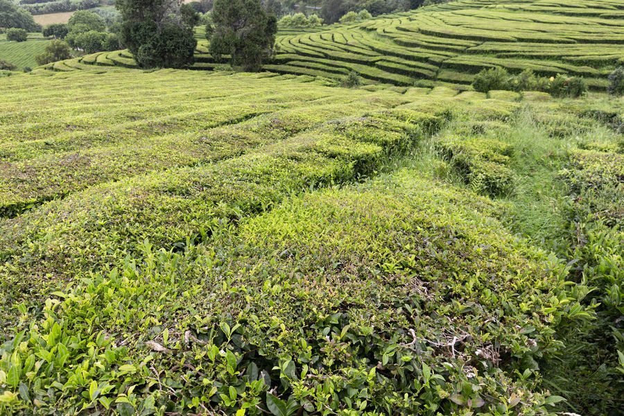 Beautiful greens at a tea plantation in the island of Sao Miguel in the Azores Tea Plantation Azores Portugal Green Production Organic Açores Sao Miguel Destination Europe Atlantic São Brás Agriculture Gorreana Tourism Tranquility Growth Field Landscape Plant No People Nature Black Tea Green Tea