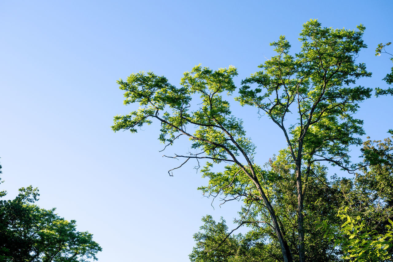 plant, sky, tree, growth, low angle view, clear sky, beauty in nature, green color, nature, no people, day, tranquility, blue, outdoors, branch, sunlight, green, high, scenics - nature, positive emotion