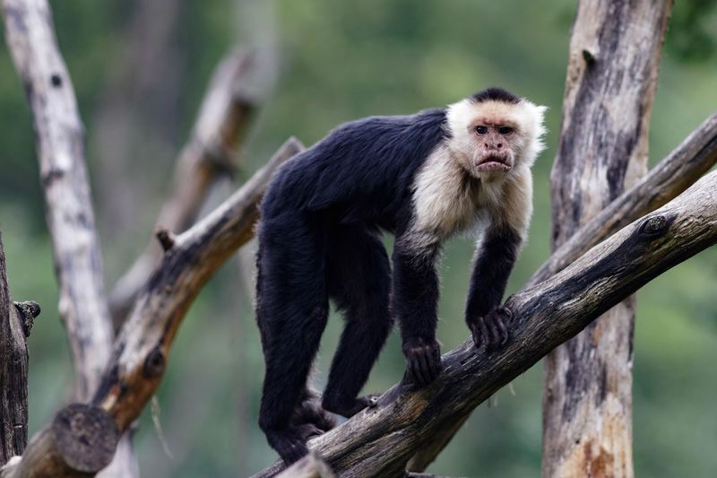 Monkey Business A Day At The Zoo Animal Wildlife Primate Tree Animals In The Wild Mammal One Animal Vertebrate