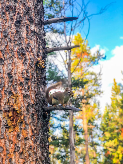 Animals In The Wild Banff  Banff National Park  Banff Alberta Camping EyeEm EyeEm Best Shots EyeEmNewHere Nature Nature Photography Squirrel Tree Tree Trunk Trees Wanderlust Wildlife & Nature Animal Animal Themes Canada Canada Coast To Coast Inthewild Inthewoods Nature_collection Wildlife Woods