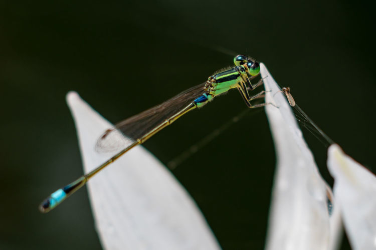 Close-up of damselfly perching on flower