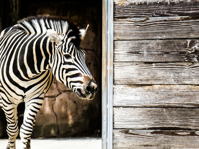 Close-up of zebra in zoo