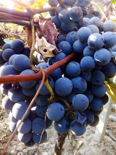 Grapeharverst Family Vineyard MadeinBobota GoodyearGrape