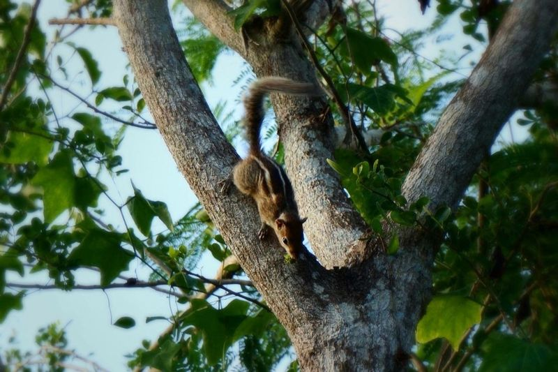 Sri Lanka Nature Tree Squirrel