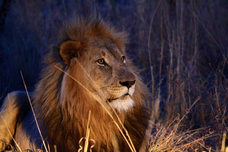 After sunset a right at the blue hour, what a beautiful lion King Capture The Moment Lion King  Gamedrives Wildlifephotography Rhulani Madikwe South Africa Animal Lions Safari African Safari Photography Wildlife Photography Big Cats Wildlife Wildlifephotography Game Drive Wild Animal Lion