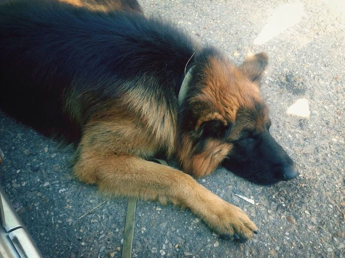 I Love My Dog немец спит ЖАРКОочень
