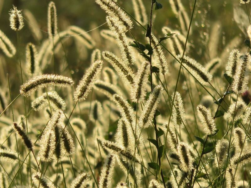 Dwarf fountain grass in the sunshine. Fountain Grass Growth Plant Nature Beauty In Nature Day No People Tranquility Freshness Close-up Sunlight Focus On Foreground Outdoors Leaf Field Low Angle View Green Color Fragility Backgrounds Land