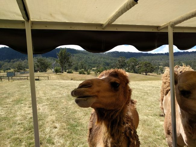 Animal Animal Themes Camel Mobilephotography Travel Destinations Tasmania NoEditNoFilter Happiness Hobart Pets Sand Sky Zoo