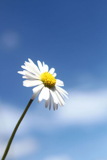 Close-up of white daisy against sky