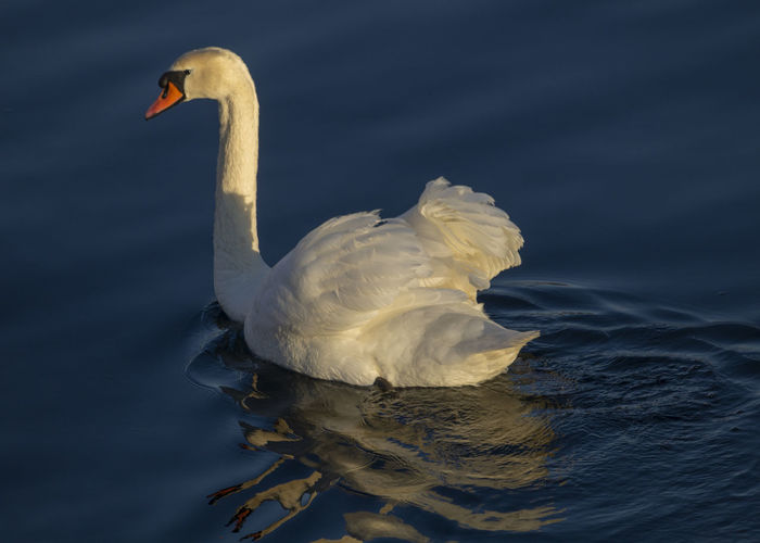 Swan in blue water Swan Animal Themes Water One Animal Animal Animals In The Wild Bird Animal Wildlife Swimming Lake Waterfront Reflection Animal Neck Water Bird