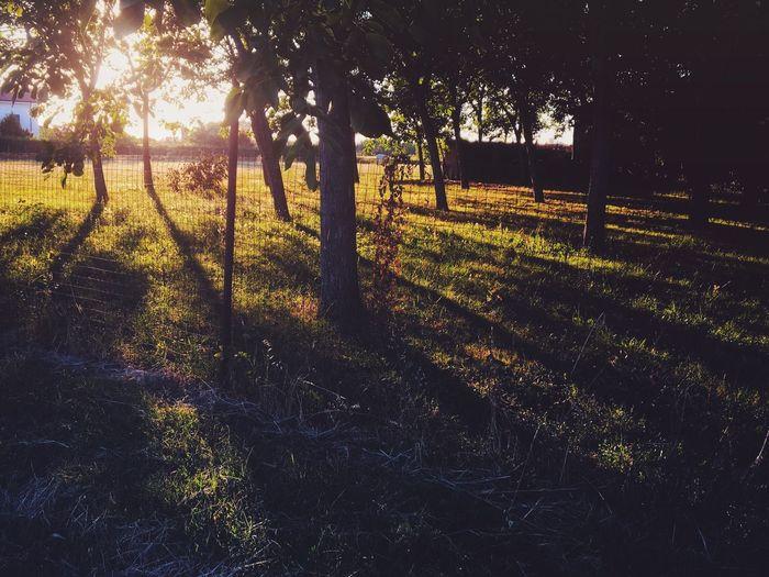 Trees Trees And Sun Golden Hour Wood Pegognaga