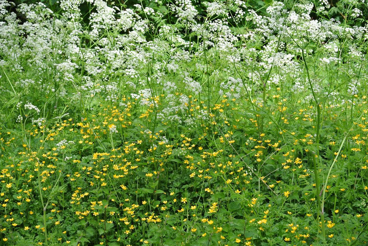 FRESH YELLOW FLOWERING PLANTS ON FIELD