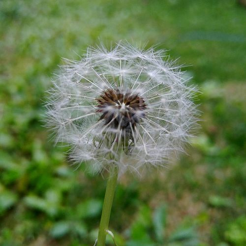 Dandelion Seed Flower Fragility Beauty In Nature Nature Plant Growth Focus On Foreground Outdoors No People Flower Head Close-up Day Freshness Beauty In Nature Beauty Of Hawai'i Flowers, Nature And Beauty Waiting For The Fairies