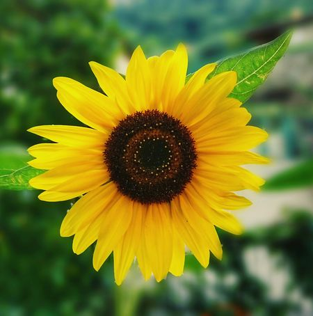Sunflower 2 Flower Yellow Fragility Flower Head Plant Freshness Sunflower Nature Outdoors Day Focus On Foreground No People Beauty In Nature Rural Scene Summer Black-eyed Susan Desktop Wallpaper Photography EyEmselect EyeEmNewHere Nature Green Color Scenics The Week On EyeEm