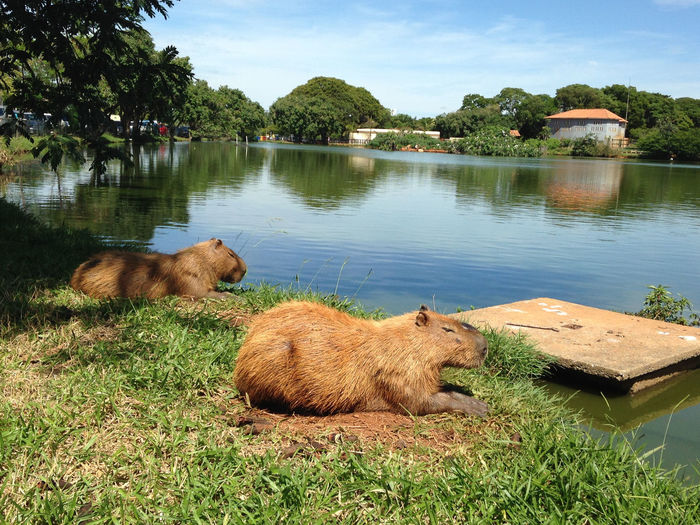 Capybaras relaxing at lakeshore against sky