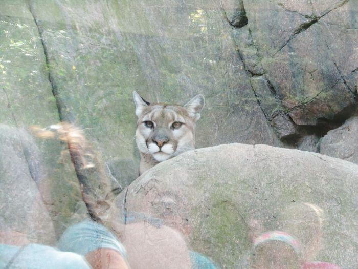 Puma Sister Reflection Zoo Sister Portrait Looking At Camera