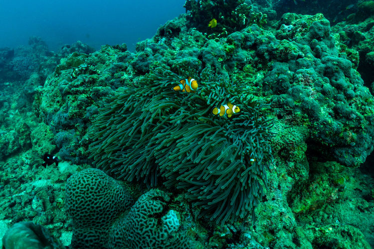 Underwater scene with coral reef and fish sea in surin islands phang nga southern of thailand.