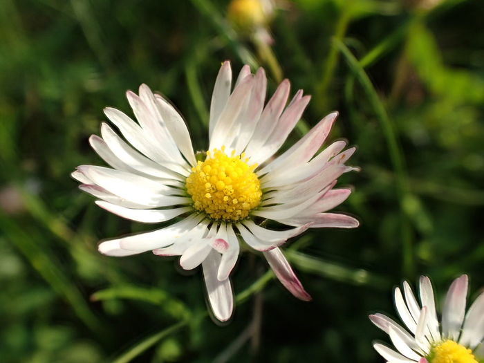 People And Places Flower Freshness Fragility Petal Flower Head Growth Daisy Close-up Beauty In Nature Stem White Color White Single Flower In Bloom Nature Focus On Foreground Plant Pollen Blossom Springtime
