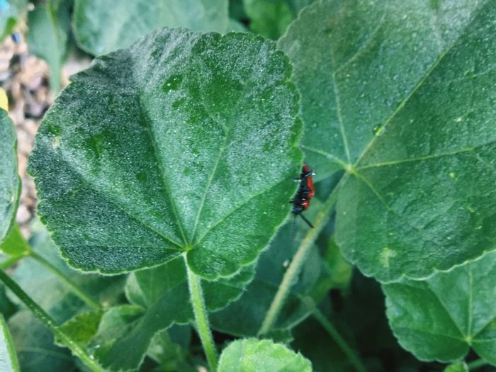 Red Lily Beetle Leaf Green Color Plant Part Insect Invertebrate Nature Plant Beetle Growth Day Animals In The Wild Red Close-up