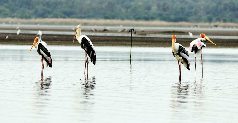 Painted storks perching on lake