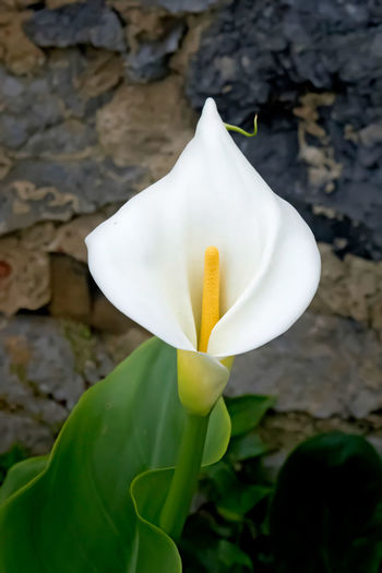 White Calla Lily Flower Flower Head Beauty In Nature Freshness Fragility Close-up Outdoors Plant Botany