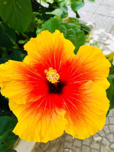 Flowering Plant Vulnerability  Fragility Flower Petal Freshness Flower Head Inflorescence Beauty In Nature Growth Close-up Hibiscus Plant Pollen Orange Color Red Day Nature Outdoors No People
