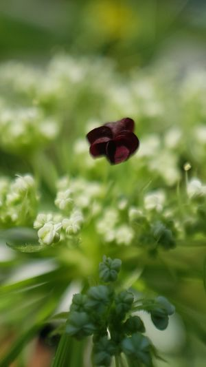 Wild Carrot Flower Red Leaf Close-up Grass Plant Green Color