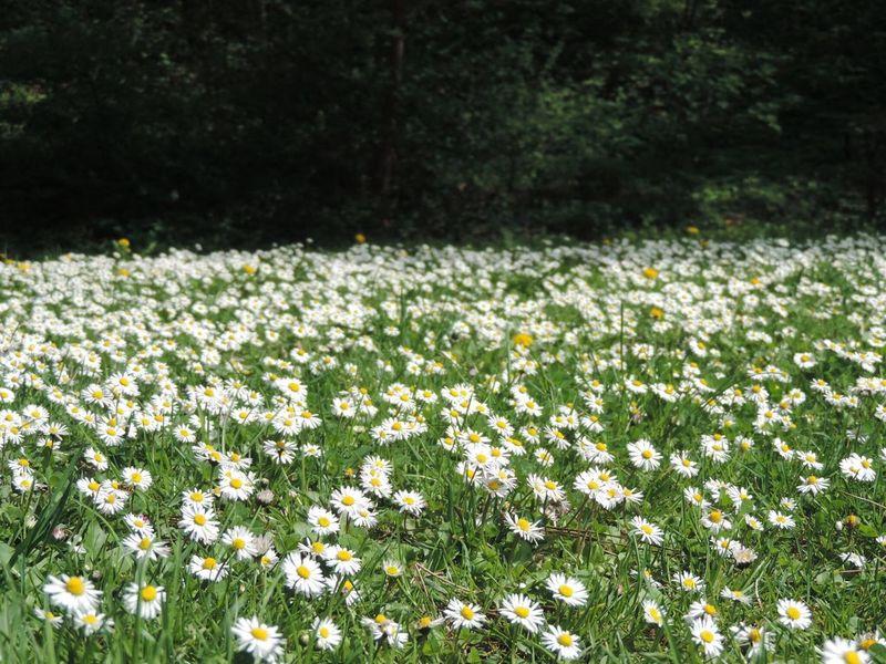 Showcase April Daisies Flowers Flower Collection Flowers,Plants & Garden Daisies Field EyeEm Best Shots EyeEm Gallery EyeEm Best Shots - Flowers