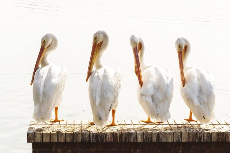 The Four Amigos EyeEm Selects Bird White Color Animal Themes Animals In The Wild Water Animal Wildlife Lake Nature No People Day Togetherness Beak Outdoors Pelican Close-up