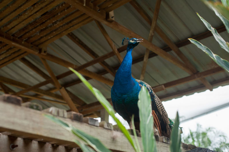 Low angle view of peacock perching on roof