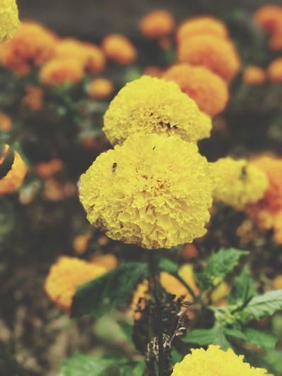 Nature Flower Beauty In Nature Growth Close-up Yellow No People Fragility Freshness Focus On Foreground Plant Outdoors Day Flower Head Lantana Camara Bali INDONESIA Blooming