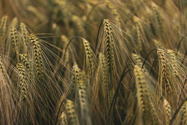 Exploring Wheat