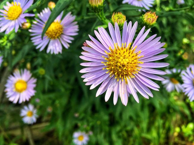 Flower Nature Fragility Freshness Beauty In Nature Petal Growth No People Day Plant Outdoors Purple Focus On Foreground Close-up Blooming Osteospermum