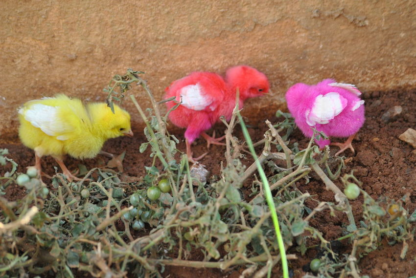 High Angle View Nature Growth Outdoors No People Day Grass Beauty In Nature Flower Animal Themes Fragility Close-up Mammal Domestic Animals Colored Chicks Multi Colored