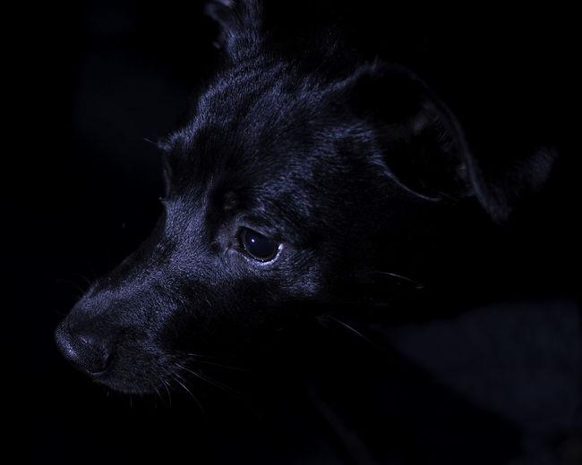 Alertness Animal Animal Body Part Animal Eye Animal Head  Black Black Background Black Color Close-up Dark Dog Domestic Animals Focus On Foreground Mammal No People Pets Portrait Selective Focus Whisker