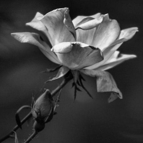 Roses... EyeEm Best Shots Flowerporn EyeEm Best Shots - Black + White EyeEm Nature Lover