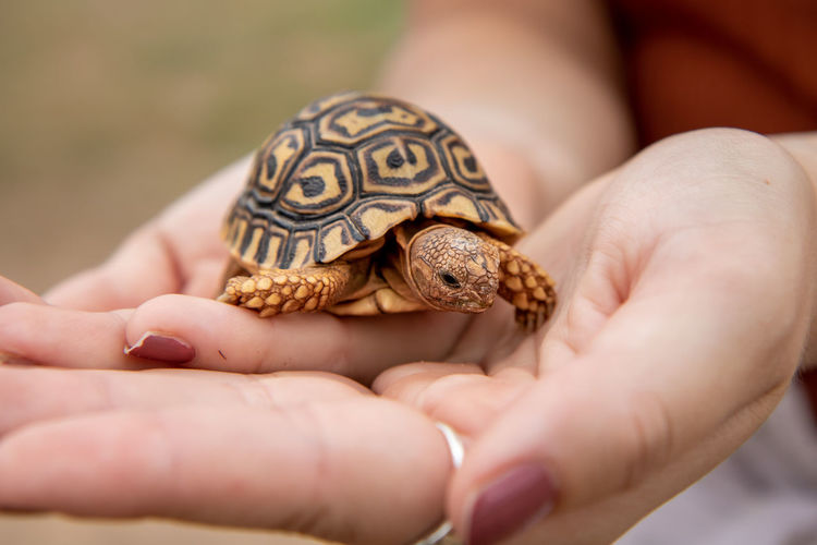 Close-up of person holding a baby tortoise