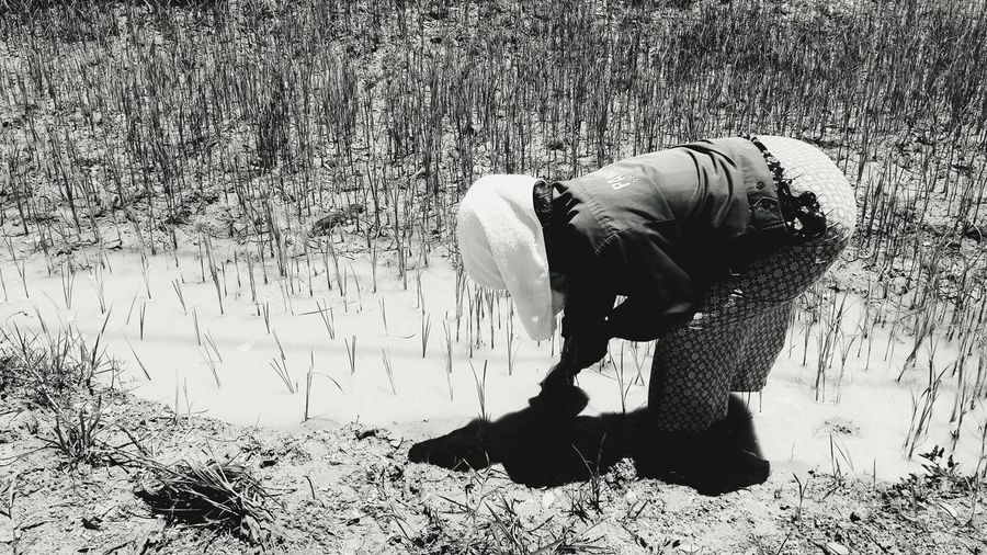 Person Working In Rice Field