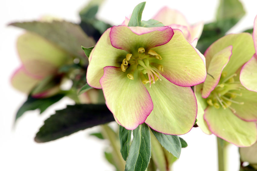 macro of green pink Hellebore (Helleborus niger) on white isolated background. Hellebores Helleborus Helleborus Niger Isolated Blooming Close-up Flower Flower Head Focus On Foreground Freshness Green Color Growth Hellebore Isolated On White Isolated White Background Leaf Petal Plant White Background