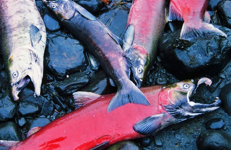 Salmon Animal