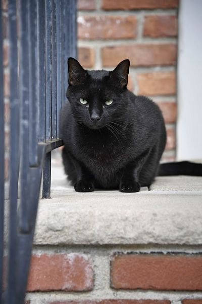 A black cat hangs out on a stoop in a suburban neighborhood One Animal Mammal Vertebrate Domestic Pets Feline Day Whisker Bars Stoop Black Color Outdoors Outside Cats Portrait Eyes Face Ears Looking Away Red Brick Looking At Camera Close Up Loaf Cat Animal Themes Sitting EyeEmNewHere A New Beginning