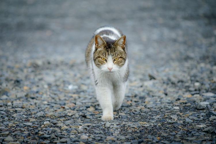 Alertness Animal Themes Cat Domestic Animals Domestic Cat Feline Glare Looking At Camera Mammal One Animal Outdoors Pets Portrait Street Walking Whisker ねこ 猫 目線 野良猫